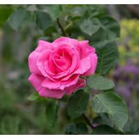 Роза Бабкина(чайно-гибридная)