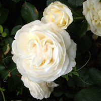 Роза Джей Пи Коннел (канадская)