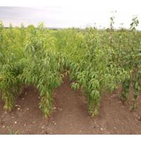 Персики оптом (от 500 шт.)