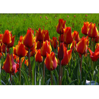 Тюльпаны оптом (от 600 шт.)