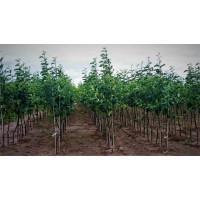 Яблони оптом ( от 500 шт.)