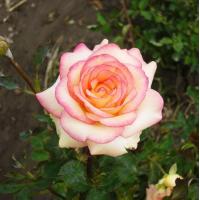 Роза Амазонка
