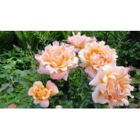 Роза Раффлс (флорибунда)