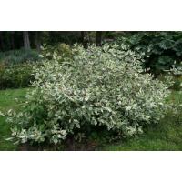 Дерен белый Сибирский ( от 10-15 см)