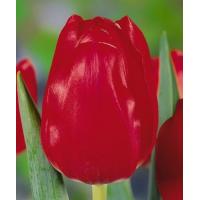 Ред пауэр (срезка) 26009
