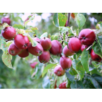 Яблоня колоновидная Тамара