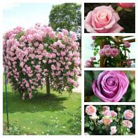 Комплект Нежность (Штамбовая роза Белла Вита, Английская роза Абрахам Дерби, Плетистая роза Крылья Ангела, Чайно-гибридная роза Кул Вотер,  Чайно-гибридная роза Панама)