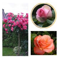 Комплект Р7-3 саженца (Штамбовые розы Розариум Ютерзен, Эден Роуз, Сильве Джюбилей)