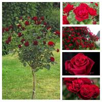 Комплект Страсть (Штамбовая роза Блэк Баккара, Канадская роза Хоуп фо Хьюманити, Плетистая роза Бельканто, Чайно-гибридная роза Forever Young, Флорибунда Лаваглут )