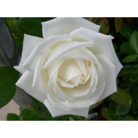 Роза Пьер Ардити(чайно-гибридная)