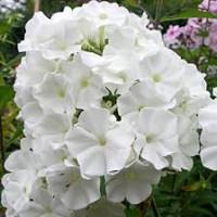 Флокс Вайт Спарр ( White Sparr)