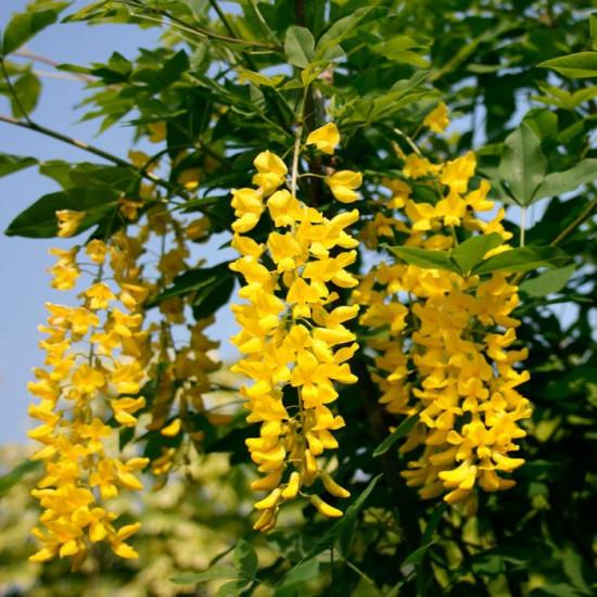 Бобовник  Анагиролистный ( Золотой дождь)