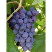 Виноград Юпитер - Кишмиш (Ранний/Фиолетовый)