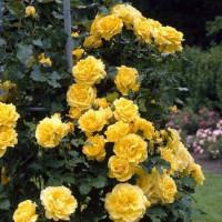 Роза Казино (плетистая)