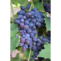 Виноград Кардинал Россо (Средний/Фиолетовый)