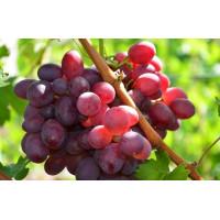 Виноград Памяти Отца (Средний/Красный)