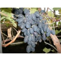 Виноград Виолетта (Ранний/Черный)