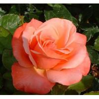 Комплект 3 саженца Роза Сильве Джюбилей (штамбовая)
