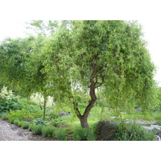 Ива Матсуды или Salix matsudana