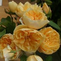 Роза Золотое руно (плетистая)