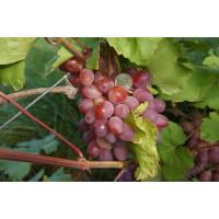 Виноград Азалия (Ранний/Розовый)