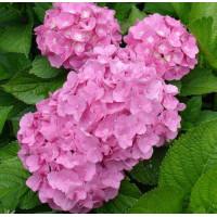 Гортензия Pink Wonder (крупнолистная)