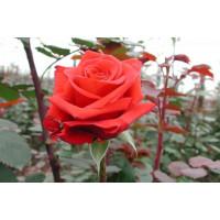 Роза Ред берлин(чайно-гибридная)