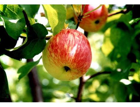 Яблоня Боровинка