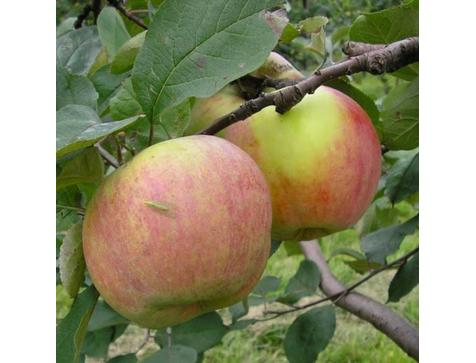 Яблоня Витязь