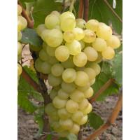 Виноград Аркадия (Ранний/Белый)