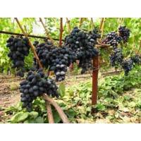 Виноград Аленушка - Кишмиш (Средний/Черный)