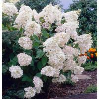 Гортензия Grandiflora (Грандифлора) (метельчатая)